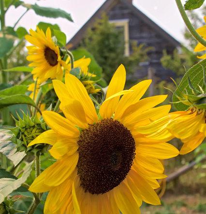 Sunflower at Newman Farm