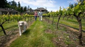 Muse vineyard