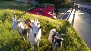 goats on the roof