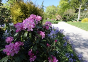 Rhododendron at Finnerty Gardens