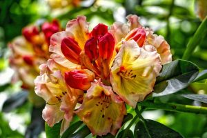 Rhododendron in Finnerty Gardens, University of Victoria, BC, Visitor in Victoria