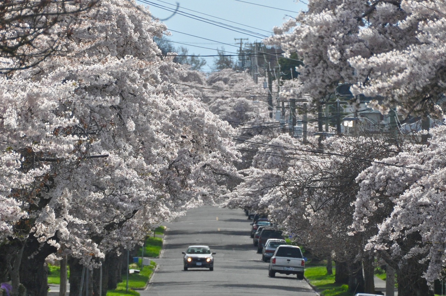 Weather in victoria visitor in victoria cherry blossoms on moss st victoria bc nvjuhfo Images