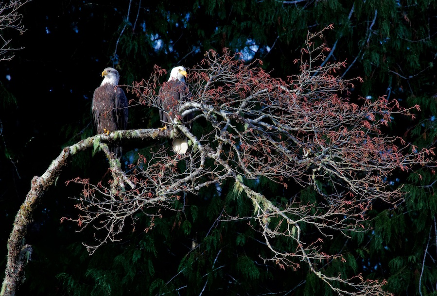 Bald Eagles at Sooke Potholes