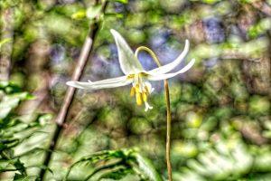 Horth Hill wildflower, Victoria, BC, Visitor in Victoria