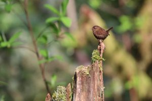 Pacific Wren at Tod Inlet