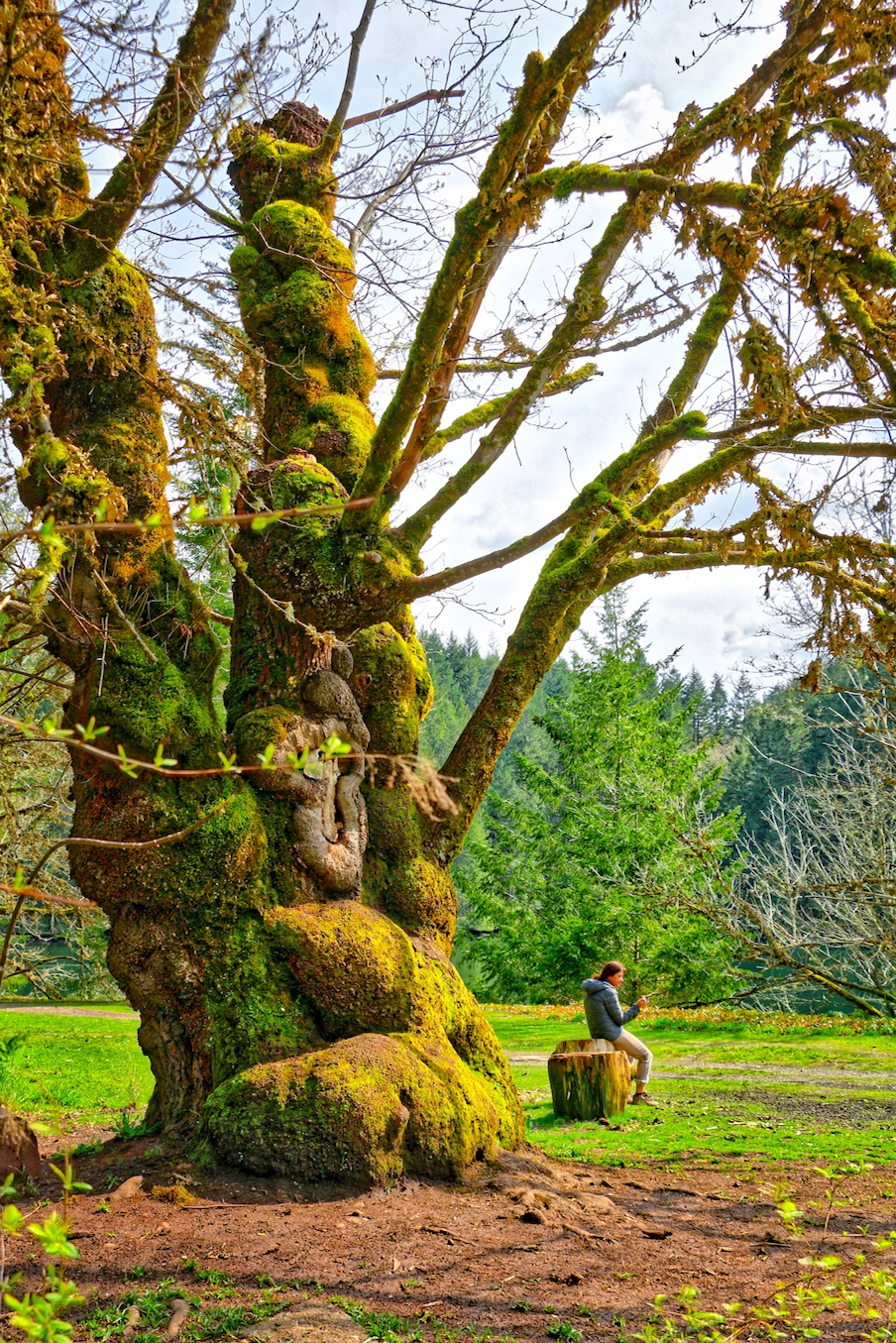 Giant Maple at Tod Inlet