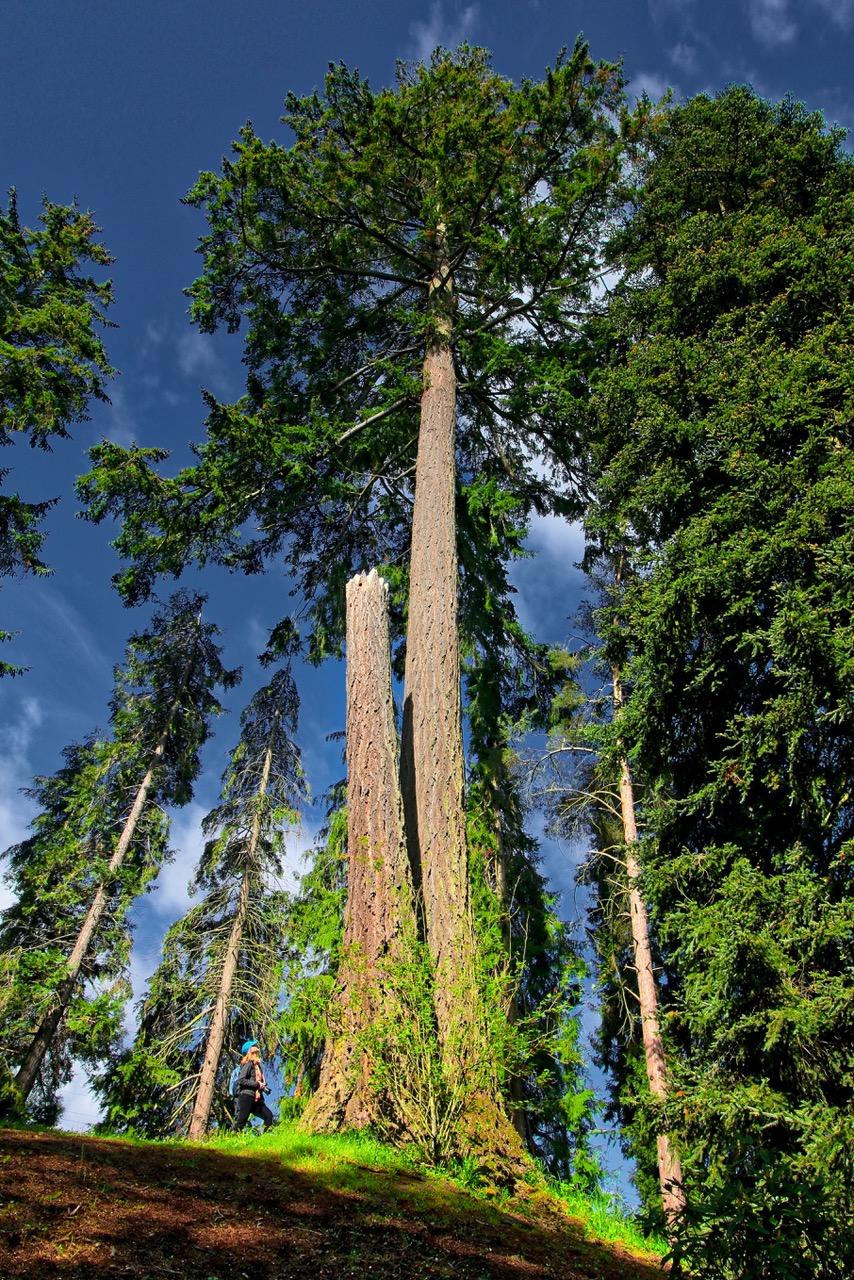 Dominion Brook Park Big Tree, Victoria, BC, Visitor in Victoria, parks in Victoria