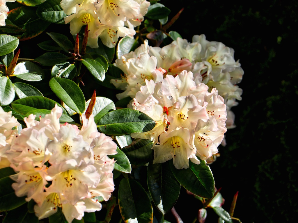 Rhododendrons at Dominion Brook Park, Victoria, BC, Visitor in Victoria, Parks in Victoria