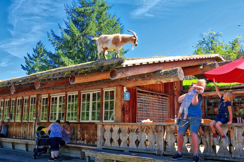 Goat on the roof, Coombs Country Market Visitor in Victoria
