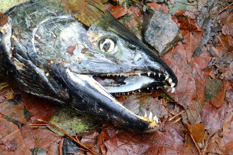 Goldstream Salmon Run, Victoria, BC Visitor in Victoria