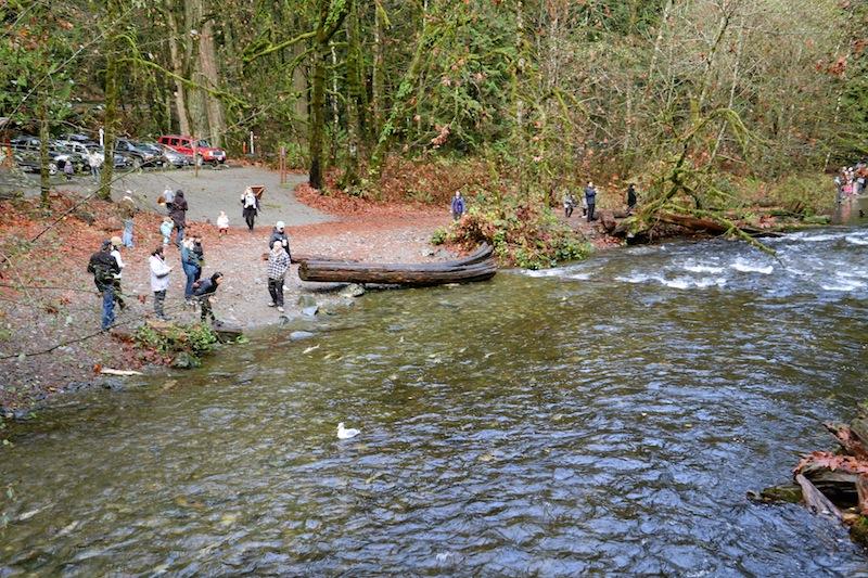 Goldstream Salmon Run Victoria, BC Visitor in Victoria