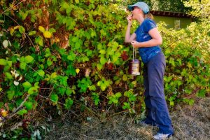Blackberry Picking in Victoria, BC Visitor in Victoria