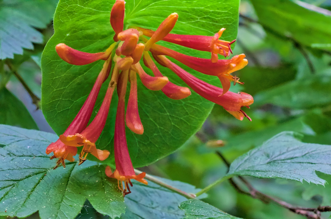 Orange Honeysuckle, John Dean Provincial Park