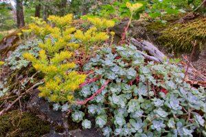 Broad-leaved Stonecrop john dean provincial park