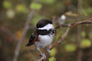 Chestnut Backed Chickadee
