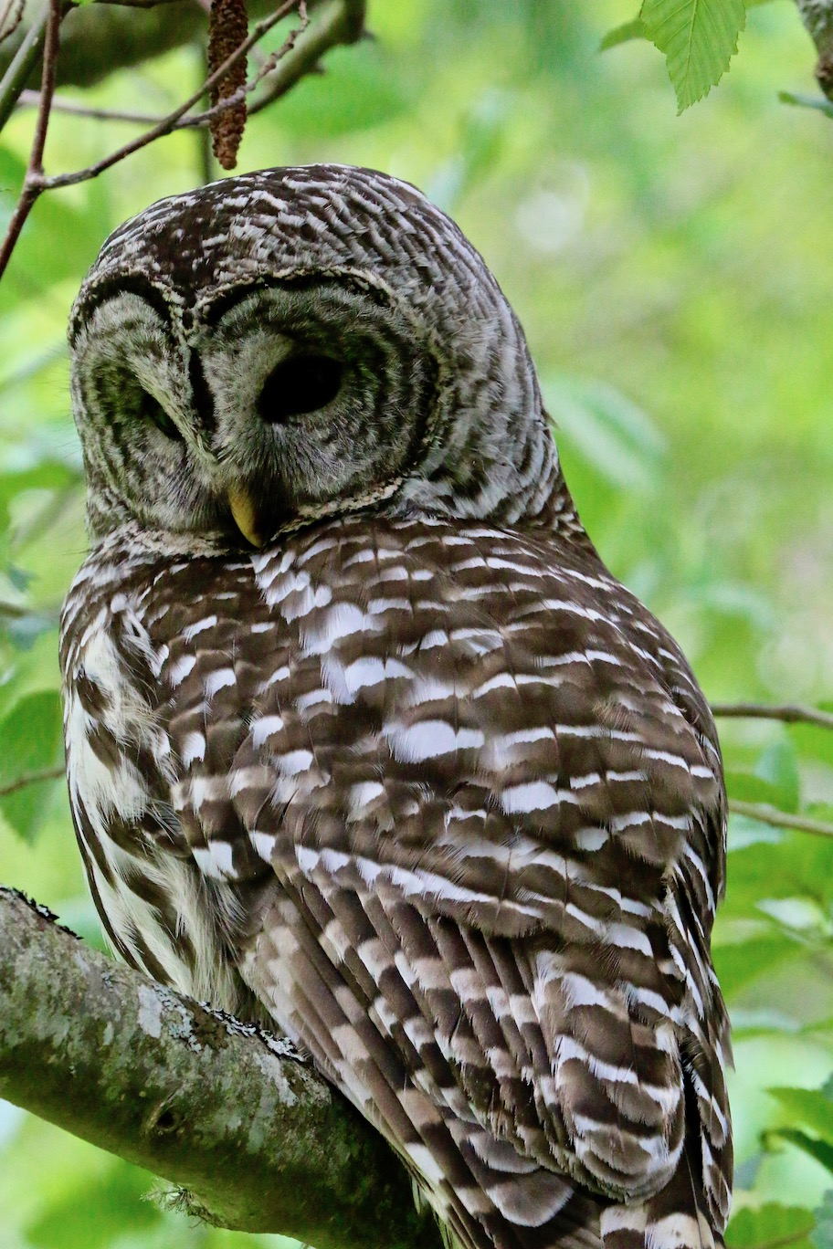 Barred Owl at Campbell Point, Mayne Island