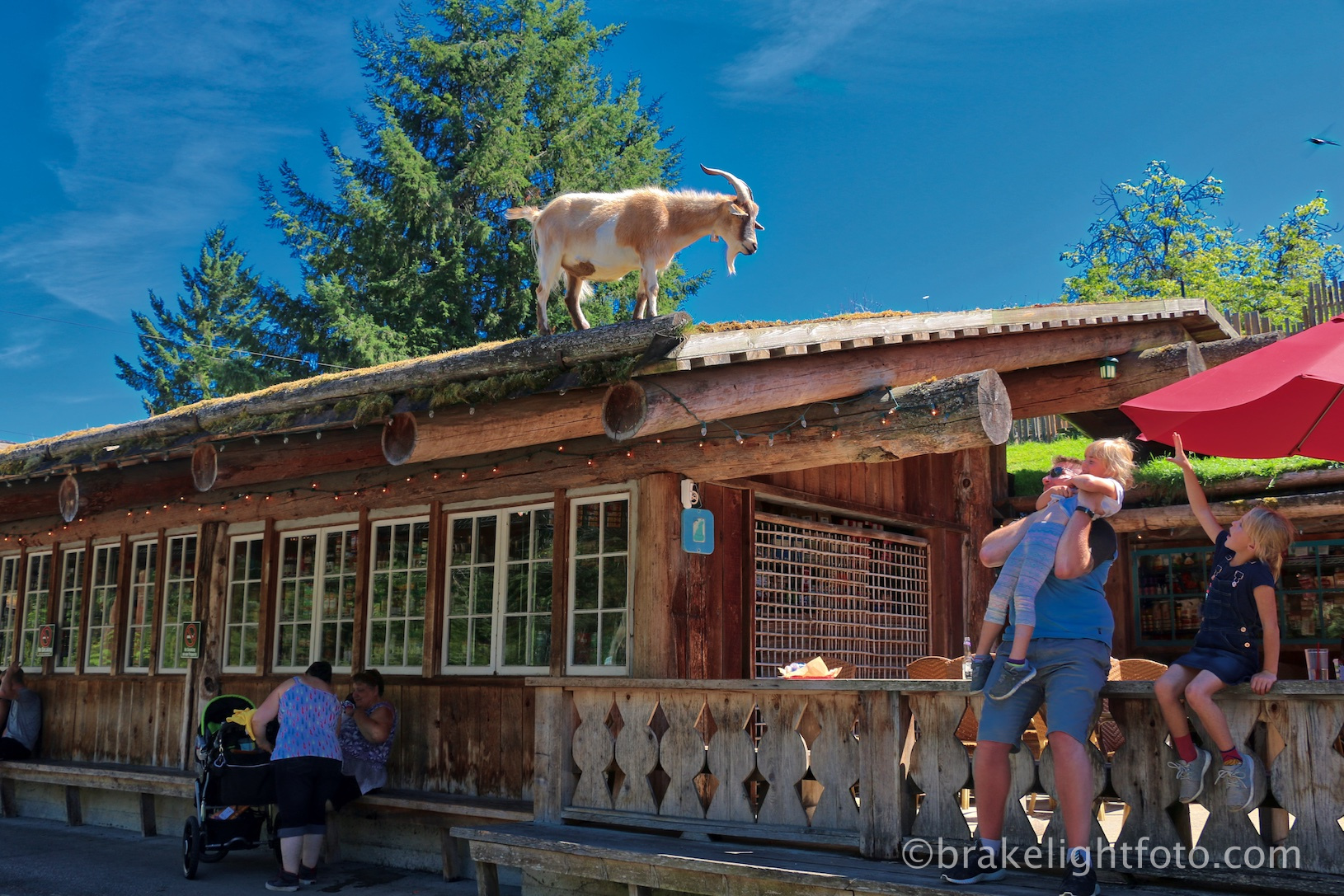 Goats on the Roof, Coombs Market Visitor in Victoria